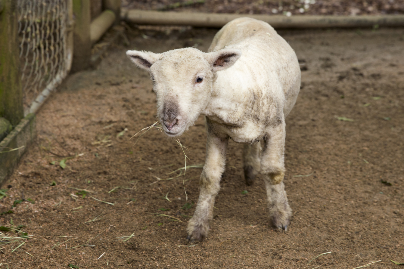 Franklin the baby doll sheep