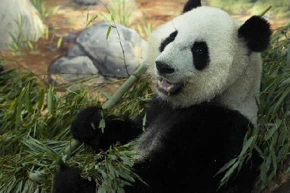 Mei Huan, 3rd Birthday, MeiHuan, Panda Twin, Panda Birthday